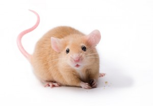 http://www.dreamstime.com/royalty-free-stock-photo-pet-mouse-rodent-animal-image13773435
